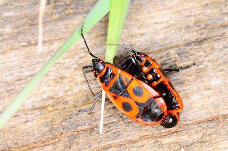 Pyrrhocoris apterus known as firebug photo