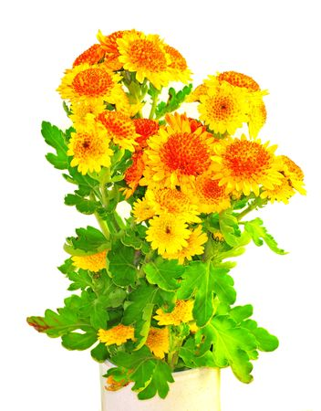 orange Chrysanthemum isolated over white Stock Photo - 3834416