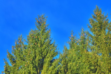 A spruce over bright blue sky with painting effect