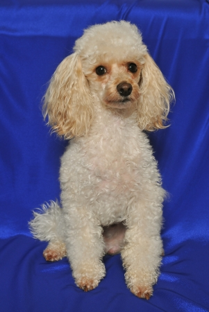 Small toy poodle sitting in front of blue velvet