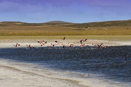 Flamingos in Patagonia, Argentina with lagoon  Stock Photo