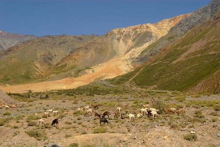 Goats in mountains of Chile Stock Photo