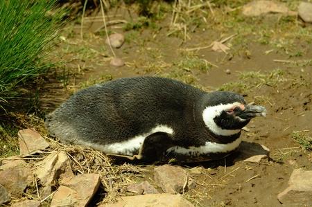 Magellanic penguins, Spheniscus magellanicus in Argentina