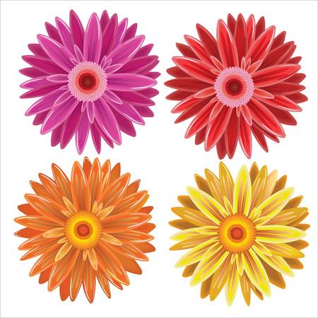 Gerbera, set colorful flowers on white background. Illustration