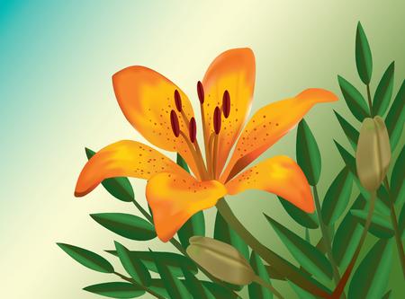 Orange lily realistic flower vector illustration
