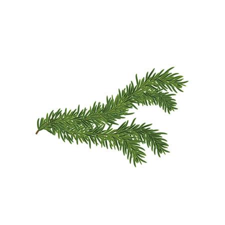Vector illustration of the Spruce branch. Ilustração