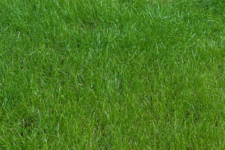 A horizontal photo shows a grass growing in a vegetable garden in August. The grass is pictured close-up as a background or texture for design solutions