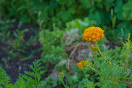 The picture shows a flower with orange petals. The flower grows in the village. Nearby there are flowers that have not yet bloomed. The flower grows in August