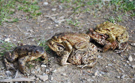 copulate: some frogs making love Stock Photo