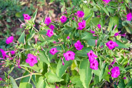 mirabilis: Mirabilis jalapa - Closeup of the peruvian flower, Mirabilis jalapa, blooming.