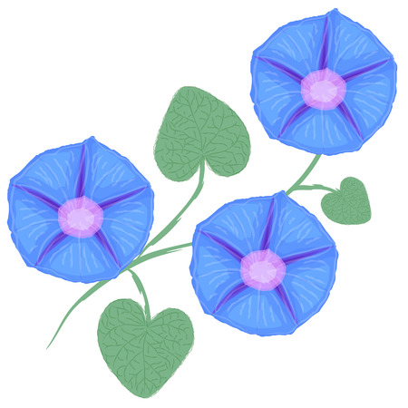 ipomoea: Branch of flower Ipomoea, morning glory. Vector illustration Illustration