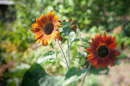 giant sunflower: Two growing yellow - orange sunflowerhelianthus in the garden near the house Stock Photo