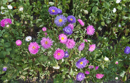 garden green: Vibrant Asters blooming in the garden, green background