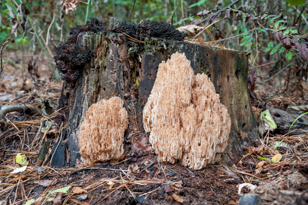 coral bark: Coral mushroom Hericium coralloides growing on the old tree in autumn wood of Kiev Region, Ukraine