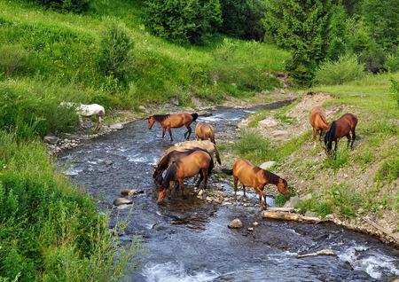 caballo bebe: caballos llegaron al r�o a beber agua, de los C�rpatos de Ucrania