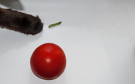 tomato caterpillar: cat protects the tomato  from caterpillar. Stock Photo