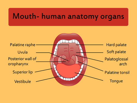 explaining: Parts of Human mouth. Open mouth and white healthy teeth. Vector Diagram, with explaining.