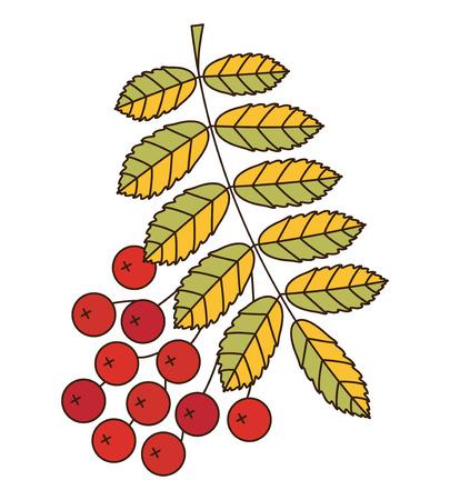 ashes: Branch of mountain ash. Vector illustration Illustration