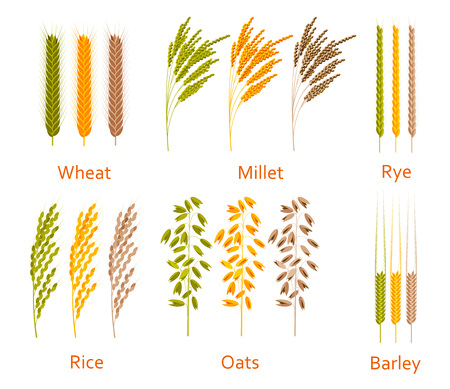 brown rice: Cereals plants set. Carbohydrates sources. Colorful vector illustration.