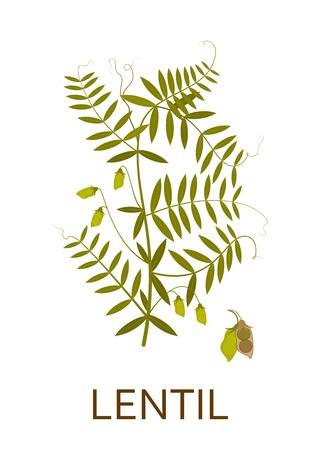Linzenplant met bladeren en peulen. Vector illustratie.