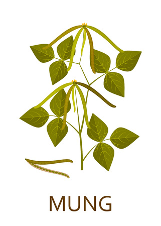 Mung plant with leaves and pods. Vector illustration. Vettoriali