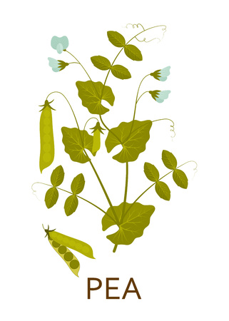Pea plant with leaves and pods. Vector illustration. Vetores