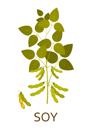 Soy plant with leaves and pods. Vector illustration.