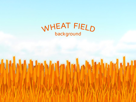 Wheat field and blue sky background. Colorful vector illustration.