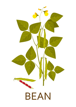 Bean plant with leaves, pods and flowers. Vector illustration. Vettoriali