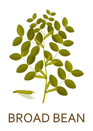 bean plant: Broad bean plant with leaves and pods. Vector illustration.