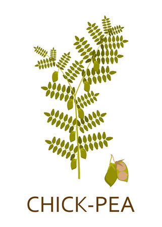 chick: Chick pea plant with leaves and pods. Vector illustration.