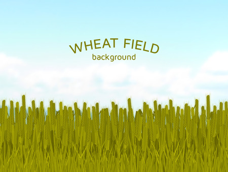 wheat field: Wheat field and blue sky background. Colorful vector illustration.