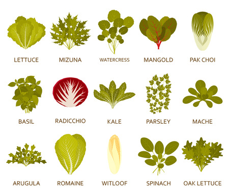 Green salad plants isolated on the white background. Vector illustration.