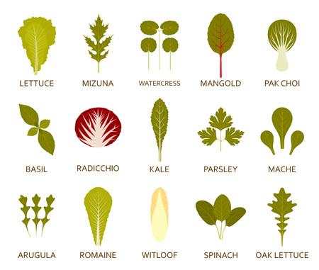 Grüner Salat Blätter, die auf dem weißen Hintergrund isoliert. Vektor-Illustration. Standard-Bild - 75095626