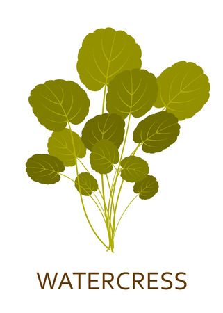 berro: Green salad plant isolated on the white background. Vector illustration.
