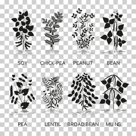 chick: Legumes plants with leaves, pods and flowers. Silhouette icons with reflection on transparent background. Vector illustration.
