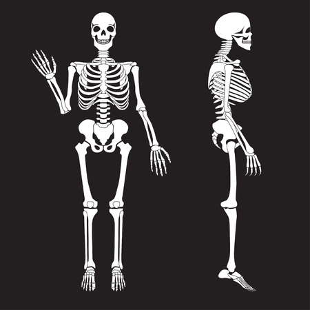 sternum: Human bones skeleton silhouette vector. Anatomy of human body. Illustration