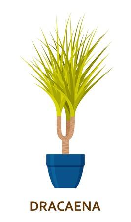 Dracaena. Decorative houseplant in pot. Florist indoor tree or interior flowerpot