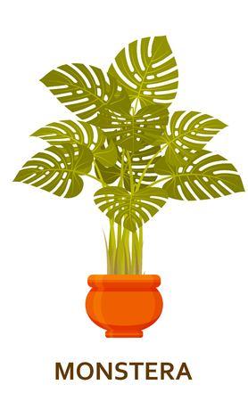 Monstera. Decorative houseplant in pot. Florist indoor tree or interior flowerpot