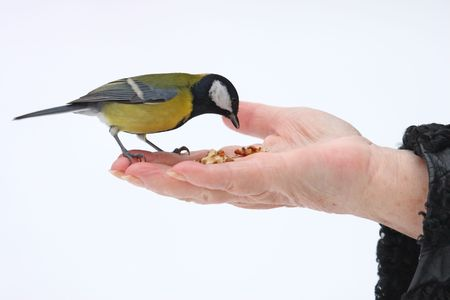 greater tit on the open hand photo