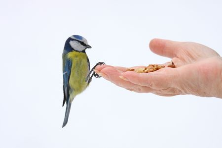 greater: blue tit on the open hand