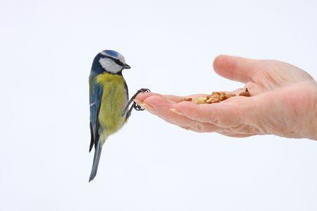 love bird: blue tit on the open hand