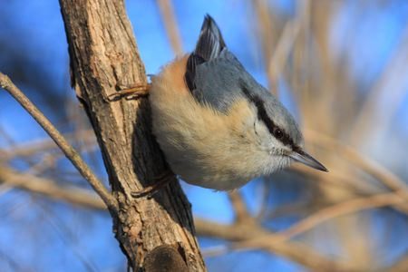 nuthatch on the branch photo