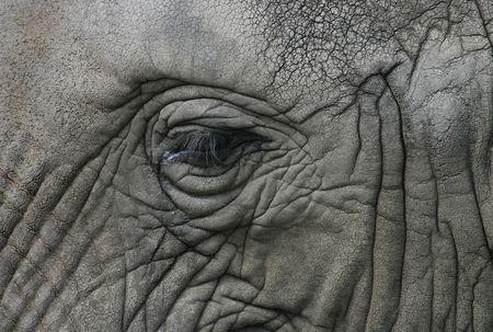 close up eyes: eye of african elephant