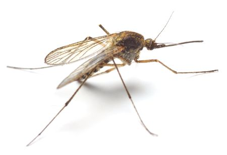 Anopheles mosquito - dangerous vehicle of infection. Macro shot with shallow dof.