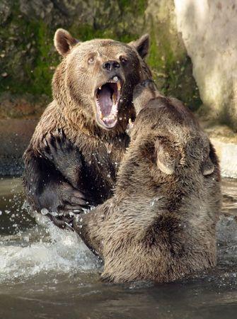 animosity: Brown Bear (Ursus arctos) in National Park Bavarian Forest - Germany Europe
