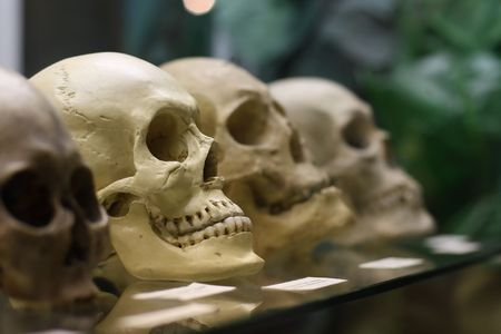 Human skulls standing on the glass shelf at the State Darwin museum in Moscow, Russia