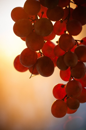 Grape fruit bunch at sunset photo