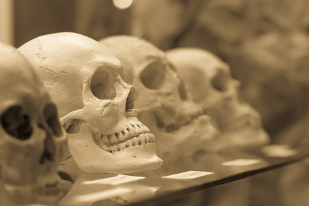 Human skulls standing on the glass shelf. Black and white processed photo. Stock Photo
