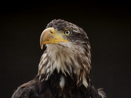 portrait of an eagle Reklamní fotografie